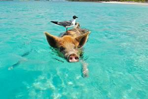 Schwimmende Schweine auf Staniel Cay